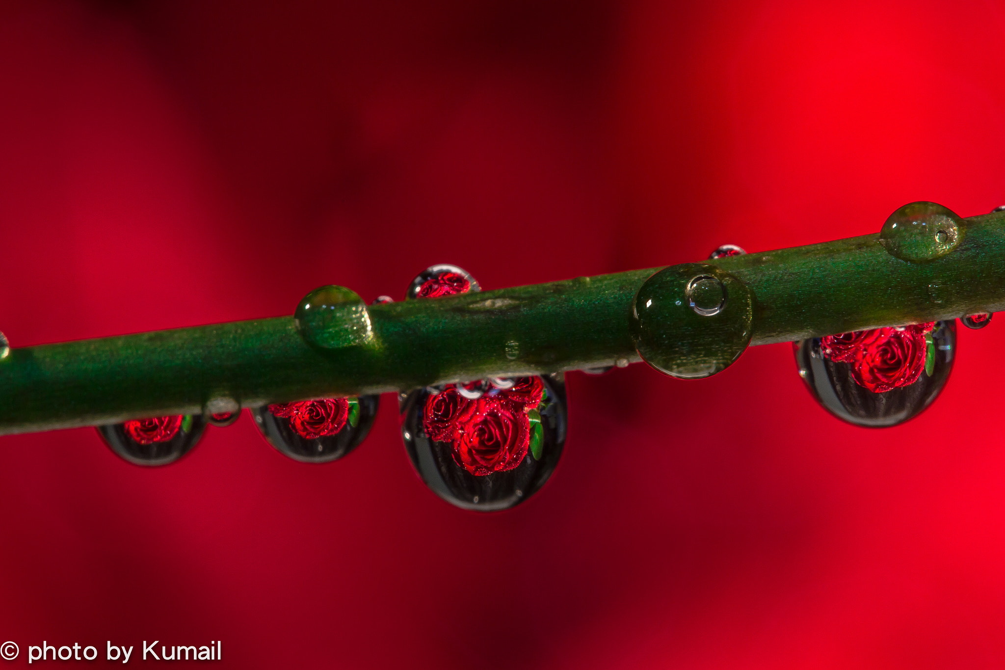 Photograph red rose inside drop by Kumail Murad on 500px