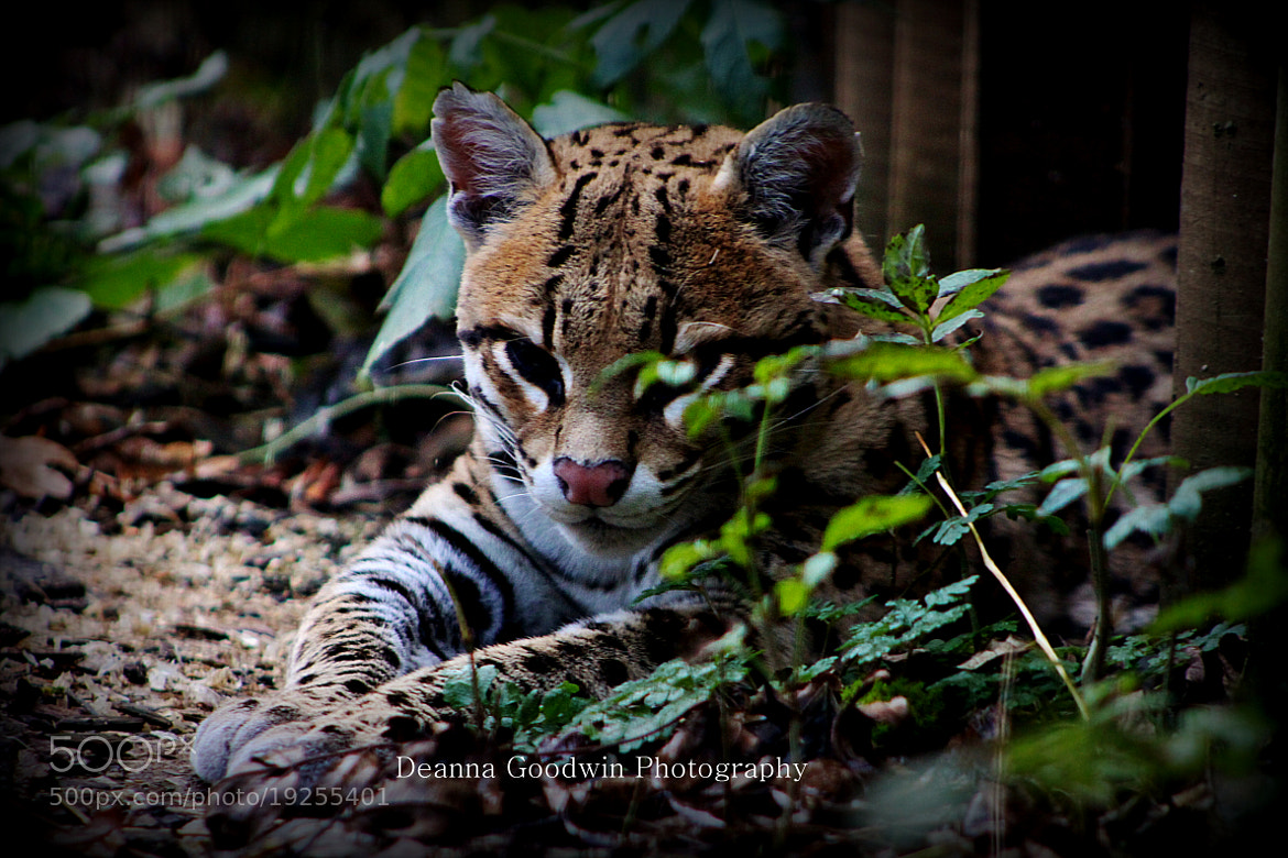 Photograph Tired Ocelot by Deanna Goodwin on 500px