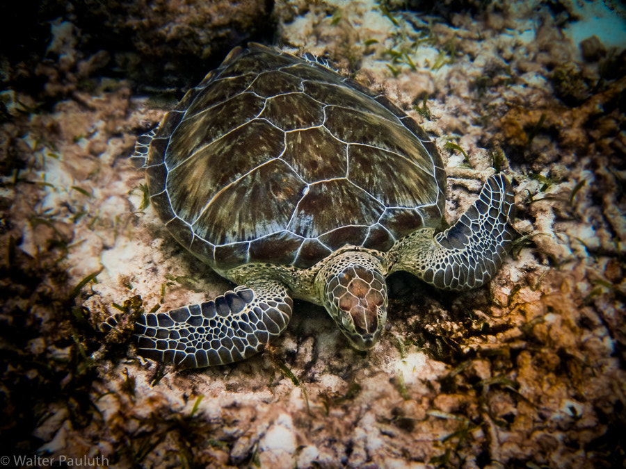 Photograph Turtle by Walter Pauluth on 500px