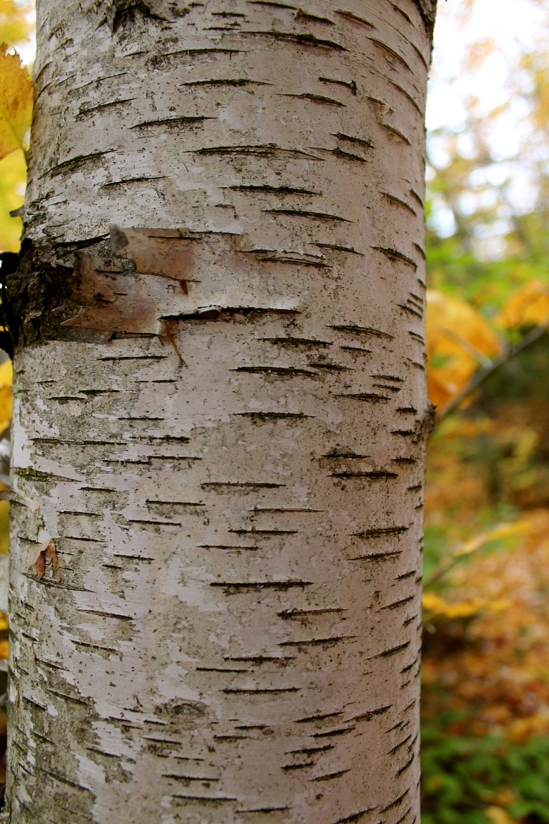 Photograph Birch by Evan Williams on 500px