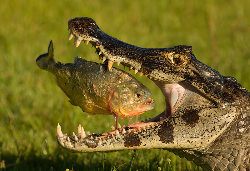 Photograph Piranha vs caiman by Mariano Fernández on 500px
