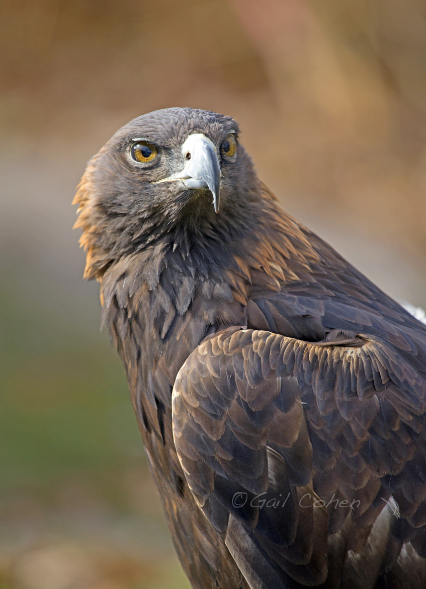 Photograph Golden Eagle by Gail  Cohen on 500px