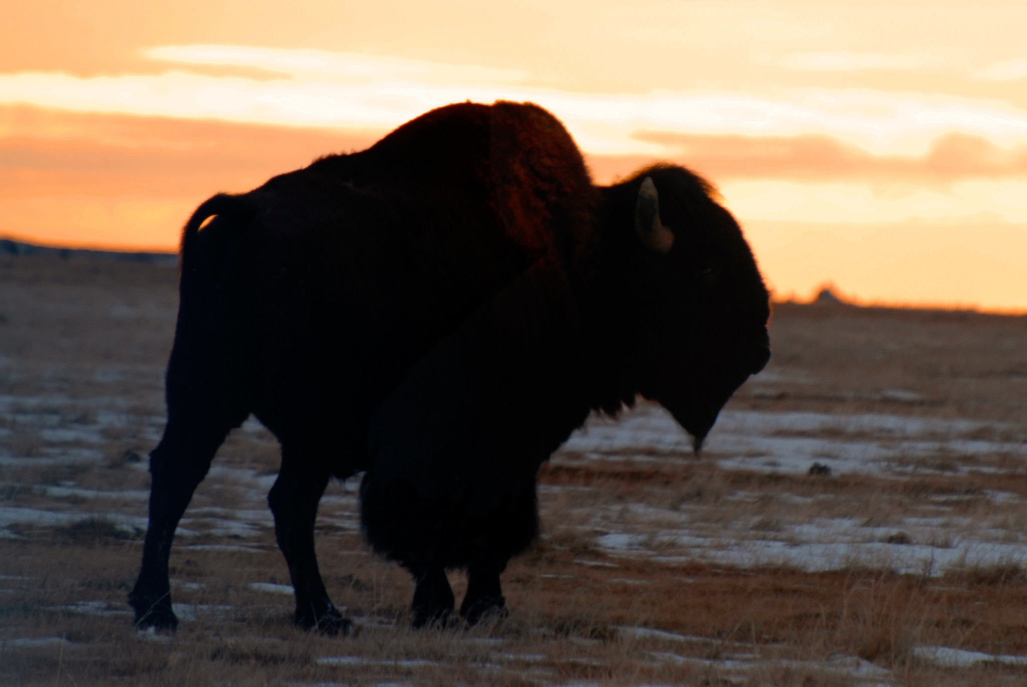 Photograph Bison Profile by Mark Jones on 500px