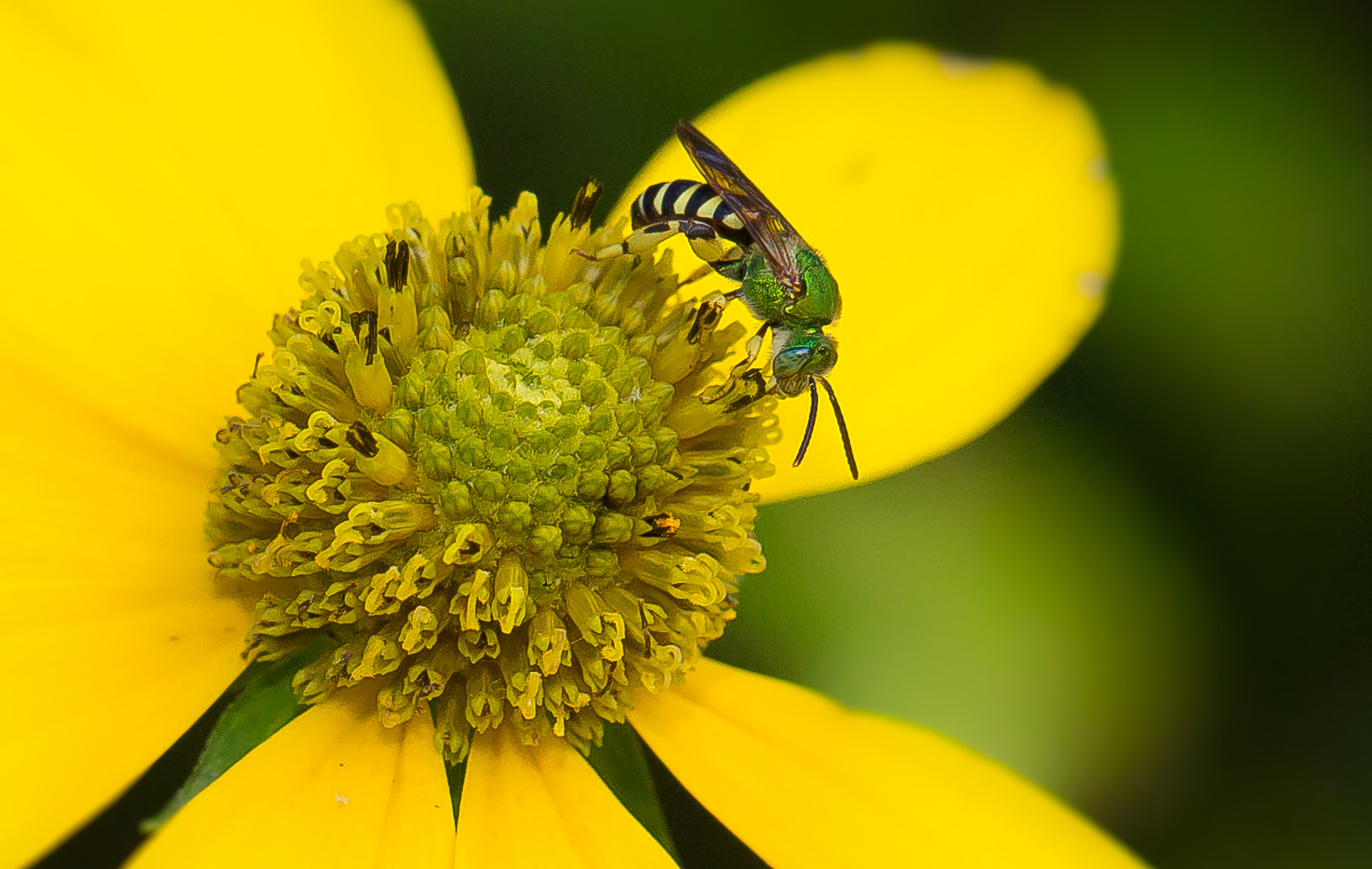 Photograph Green Bee by George Bloise on 500px