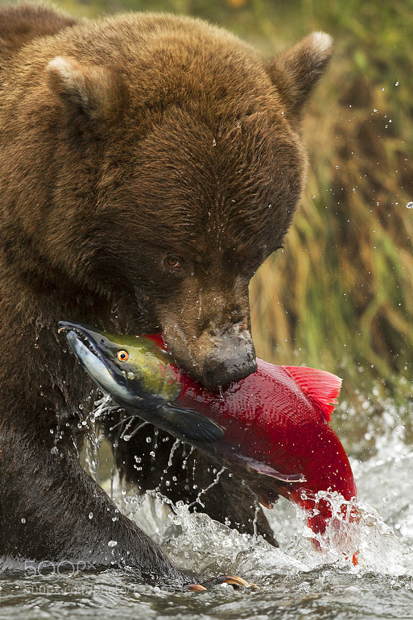 This image is of an adolescent Alaskan Grizzly Bear plucks a random Sockeye Salmon from the river during the fall spawning season...just another victim in the bears plight to fatten up for a long, cold winter.