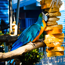 Blue Gold Macaw by Bill Schuchman (BillSchuchman)) on 500px.com