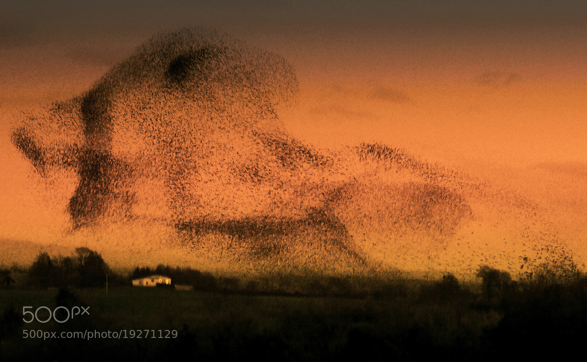 Photograph A GLOAMING OF STARLINGS OVER GRETNA by KENNY BARKER on 500px