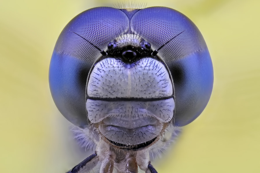 Photograph Dragonfly Faced by Donald Jusa on 500px