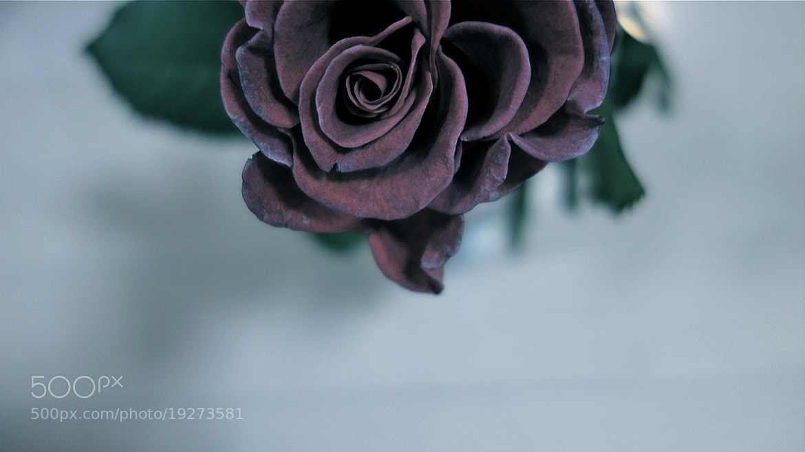 Photograph Withering Rose by Ayako Nakamura on 500px