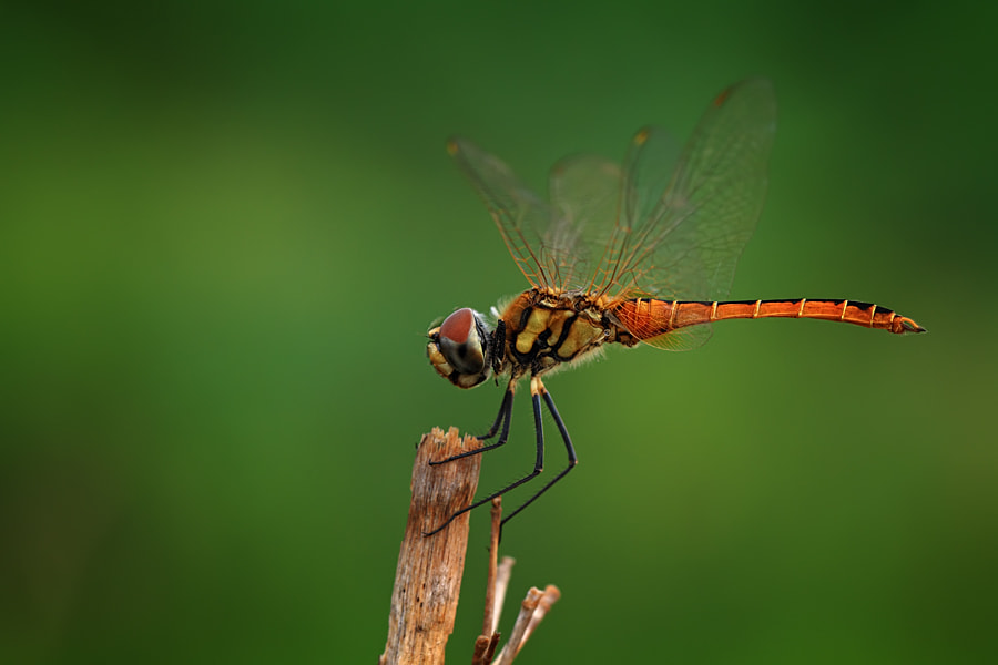 Photograph dragonfly by Liza Rosalina on 500px