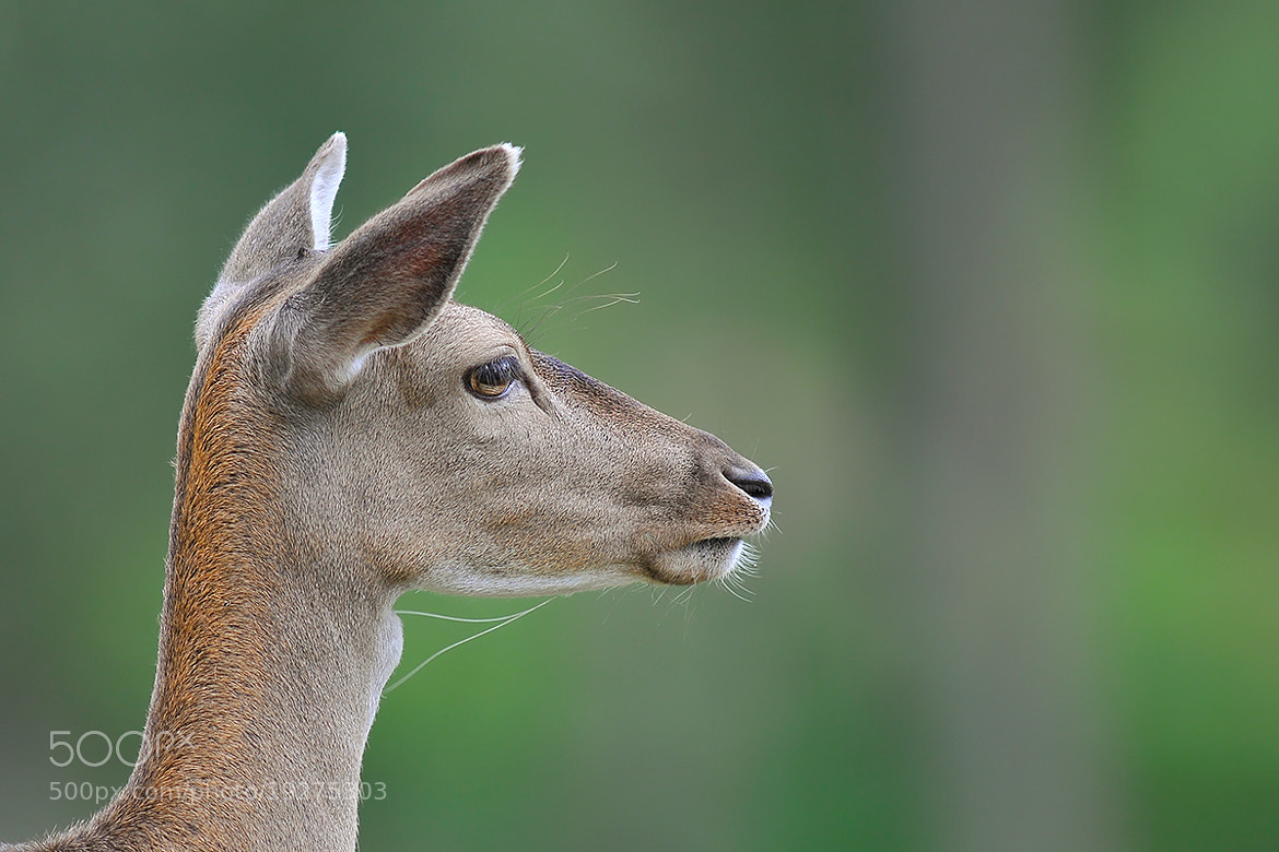 Photograph Red Deer by Rob Janné on 500px