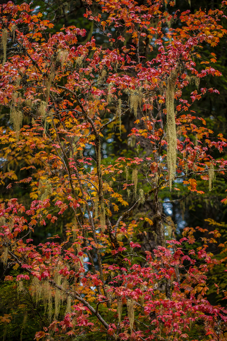 Photograph Witches Hair in Autumn Tree by Alene Davis on 500px