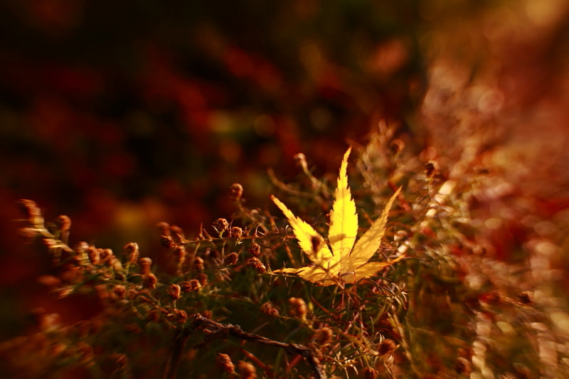 Photograph Golden Leaf by Shihya Kowatari on 500px