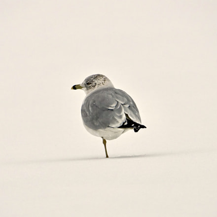 Seagull at snowing, Sony DSC-RX10M3, Sony 24-600mm F2.4-4.0