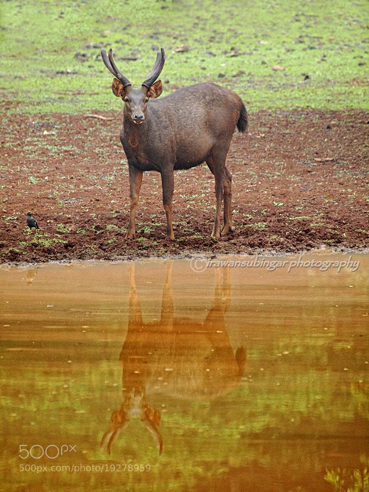 Photograph sambar on the water by Irawan Subingar on 500px