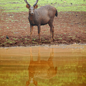 sambar on the water by Irawan Subingar (Irawan-Subingar)) on 500px.com