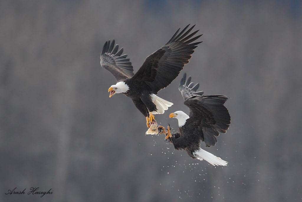 Photograph Bald eagle aerial battle  by Ari Hazeghi on 500px