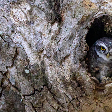 Owlet, Canon EOS-1D MARK IV, Canon EF 500mm f/4L IS II USM