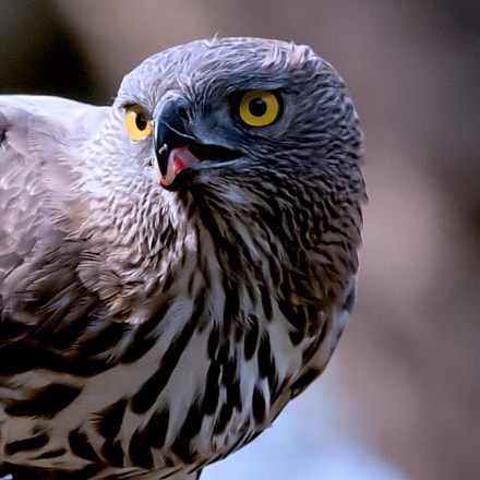 Crested Serpent Eagle, Canon EOS 7D MARK II, Canon EF 500mm f/4L IS II USM