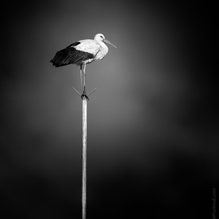 The Pole Dancer, Canon EOS 5DS R, Canon EF 500mm f/4L IS II USM