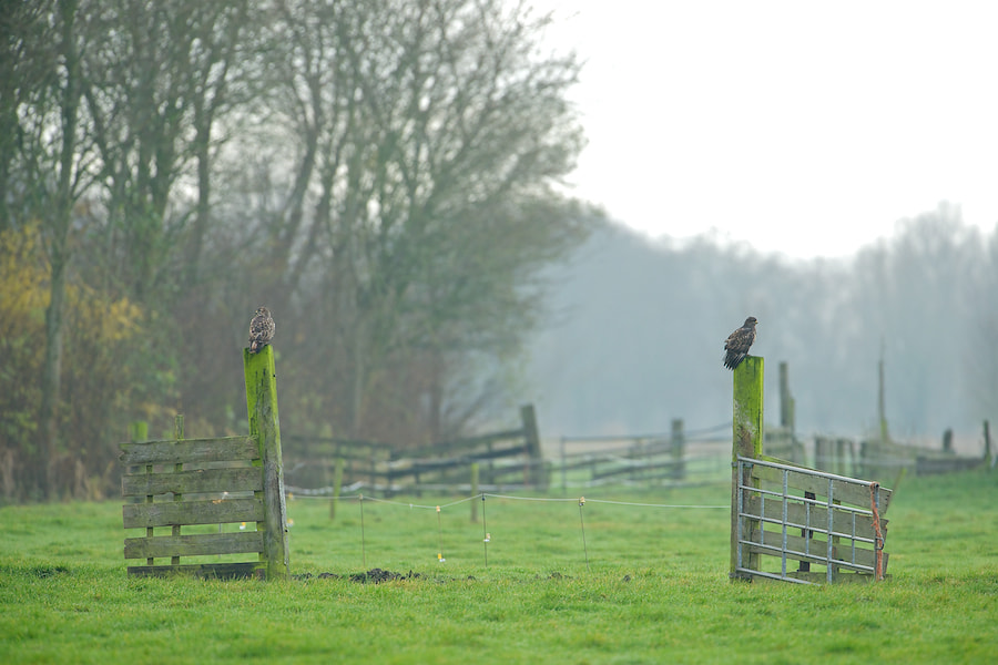 Photograph 2 buzzards on a fence by Erik Veldkamp on 500px