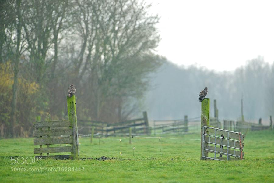 Photograph 2 buzzards on a fence by Erik Veldkamp on 500px