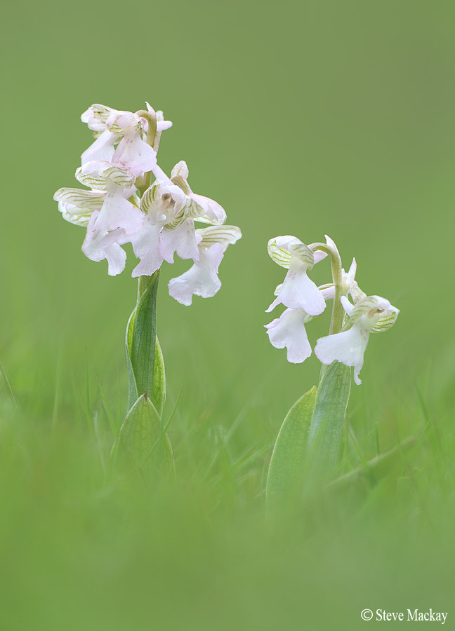 Photograph White, Green-winged orchids by Steve Mackay on 500px