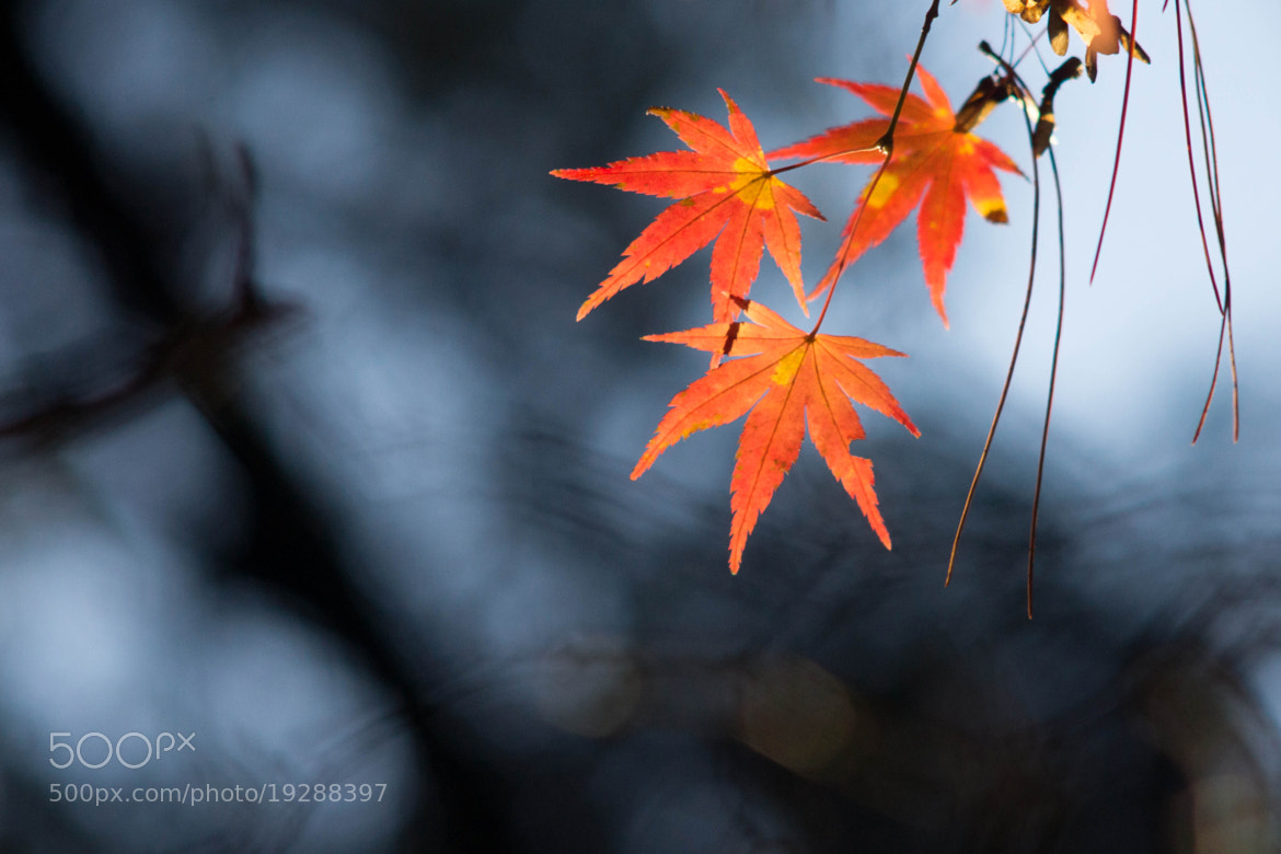 Photograph maple leaves  in Autumn by Mingda Jiang on 500px