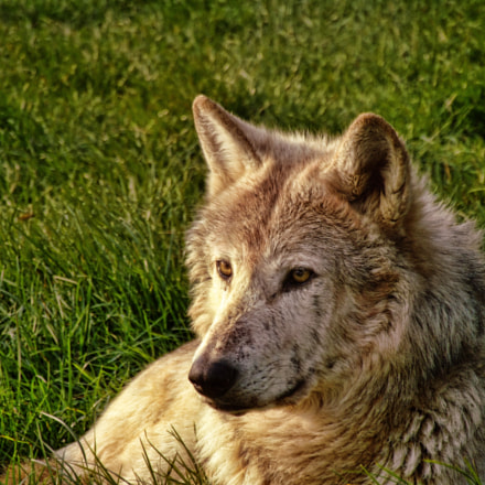 Timber Wolf, Fujifilm FinePix S9600