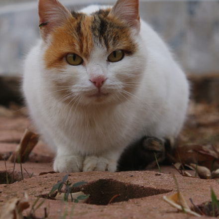 Cat, Canon EOS 650D, Canon EF 22-55mm f/4-5.6 USM