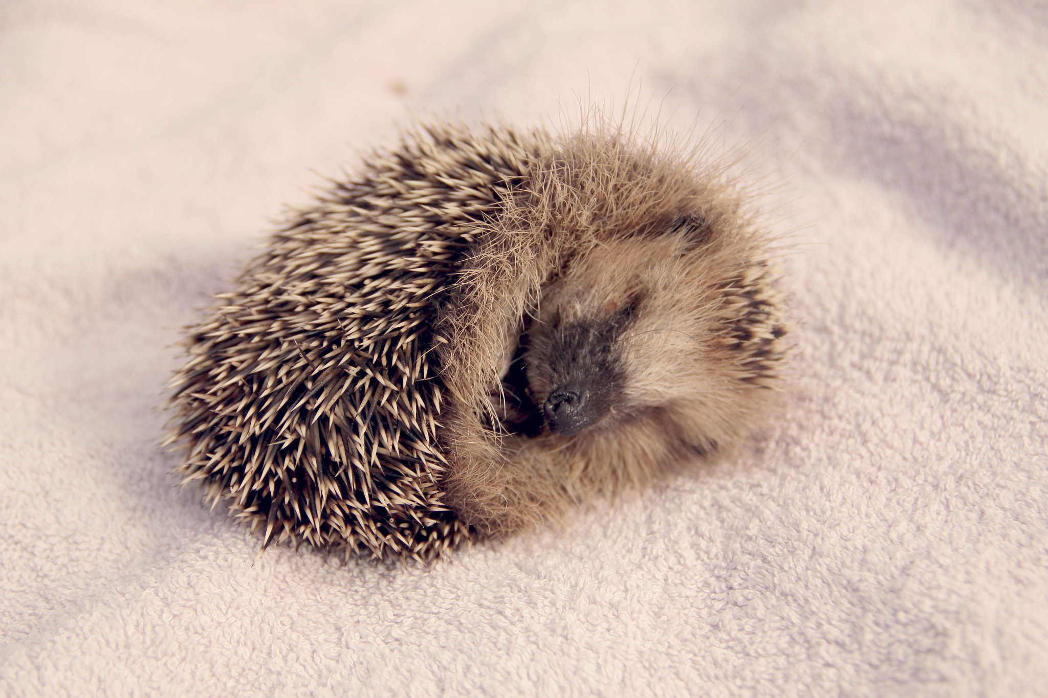 Photograph Little tired hedgehog by Topea Gina on 500px