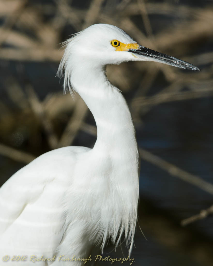 Photograph Portrait of a Snowy Egret by Richard Kimbrough on 500px