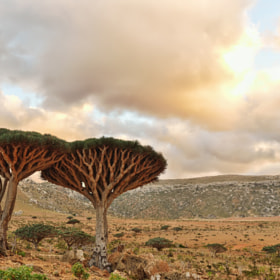 Dragonblood Trees by Csilla Zelko (csillogo11)) on 500px.com
