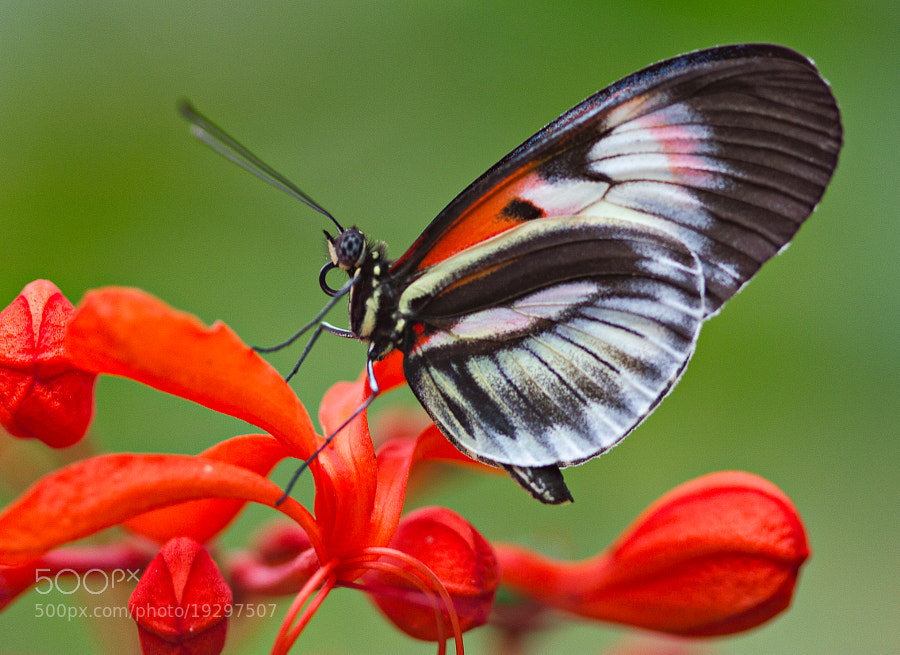Piano Key Butterfly, Butterfly World, Cocoonut Creek, Florida.