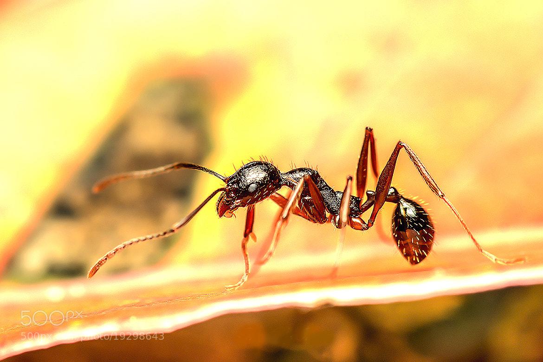 Photograph Red ant by OKAWA โอ๋กะหว้า. somchai on 500px