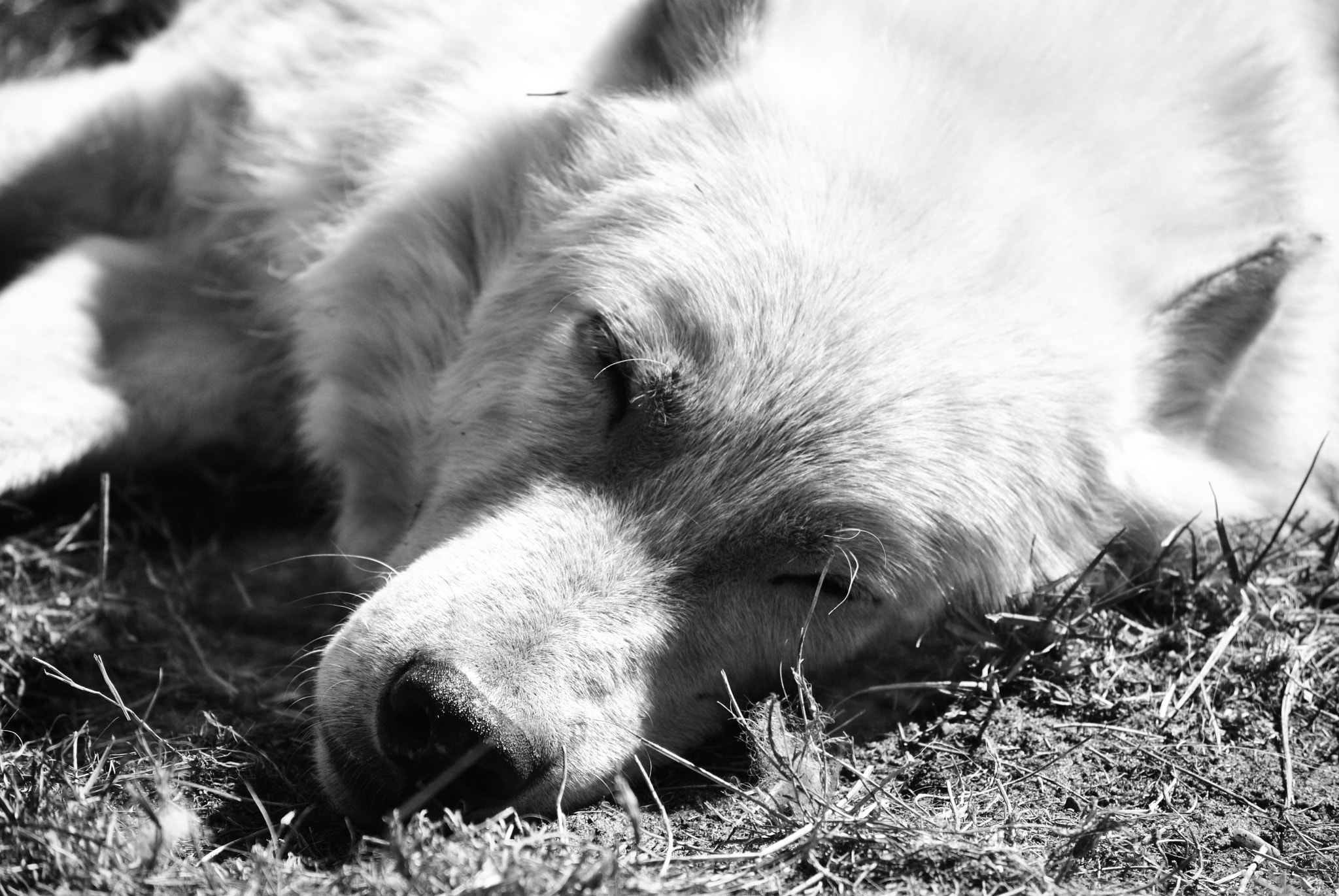 Photograph Arctic Wolf. by Caroline Aparisi on 500px