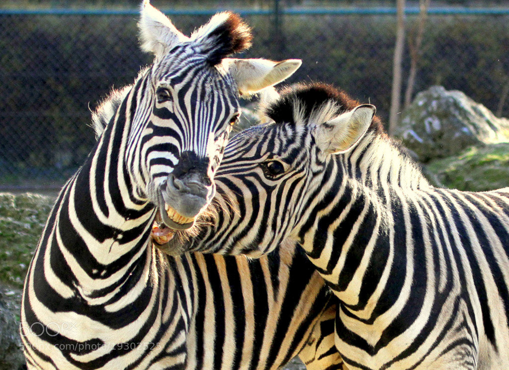 Photograph Struggling Zebras by Rainer Leiss on 500px
