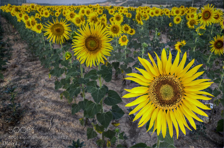 Photograph Sunflower field (Burgo de Osma, Soria, Spain) by Domingo Leiva on 500px