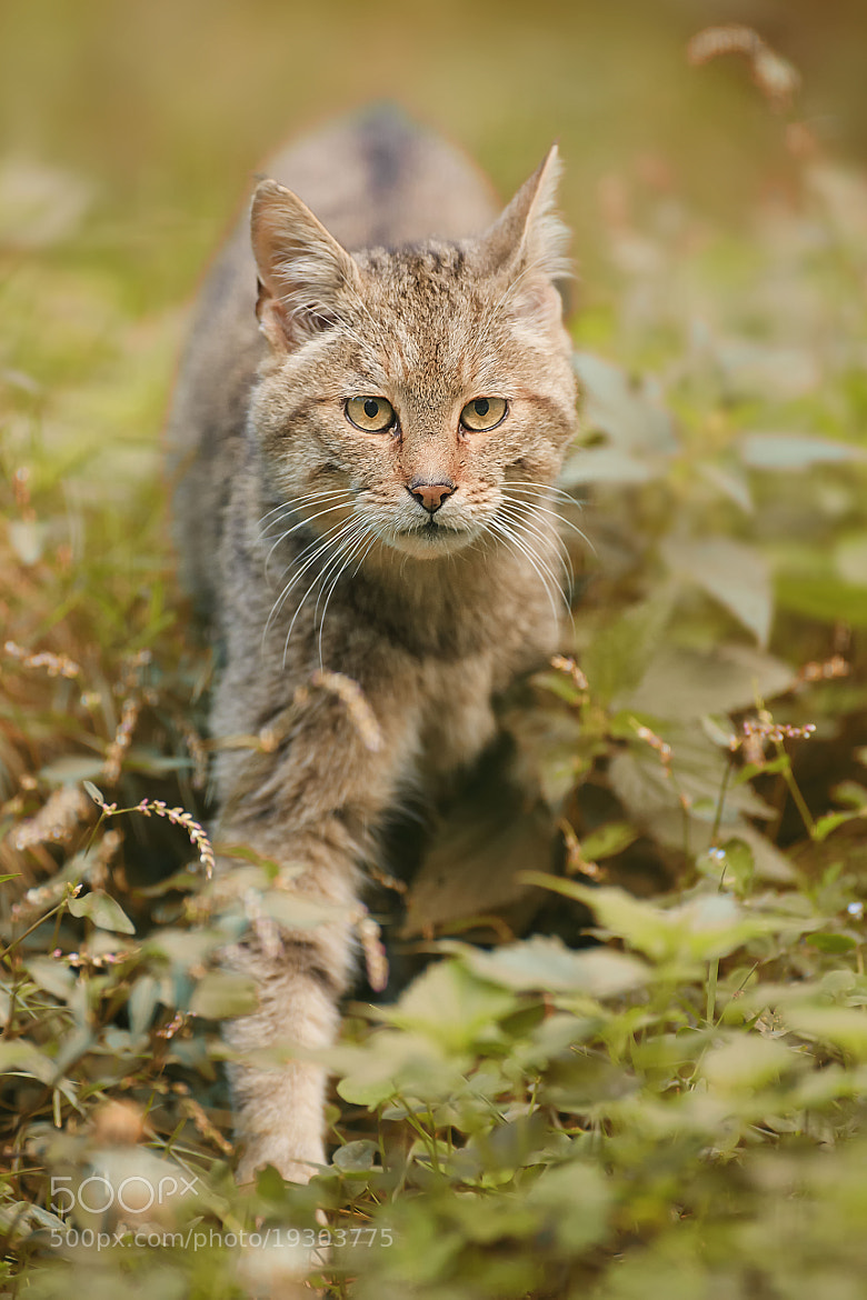 Photograph wildcat (captive) by Stefan Betz on 500px