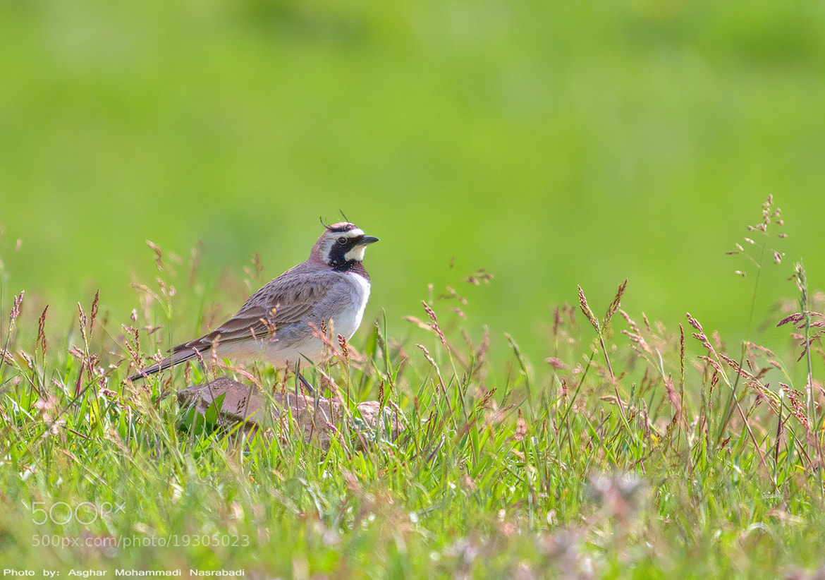 Photograph Horned Lark by Asghar Mohammadi Nasrabadi on 500px