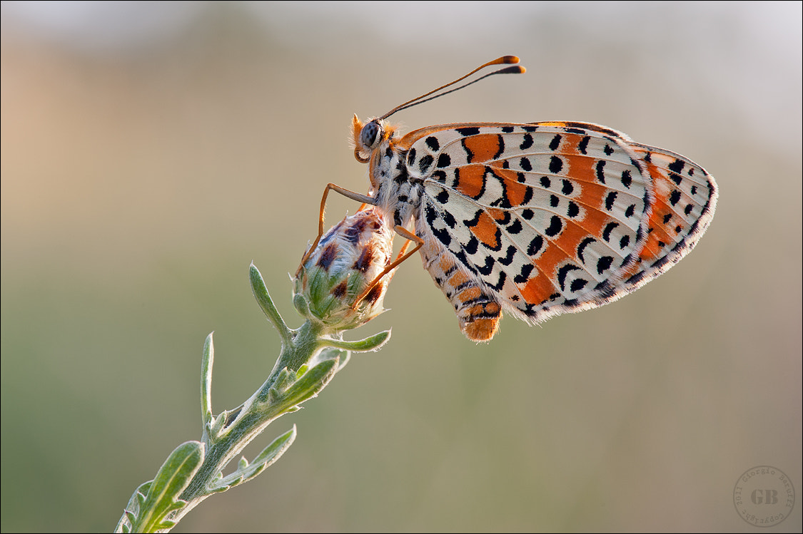 Photograph Melitaea didyma by Giorgio Baruffi on 500px