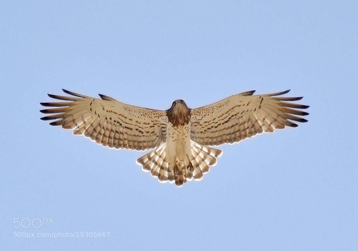 Photograph Short-toed Snake Eagle by Asghar Mohammadi Nasrabadi on 500px
