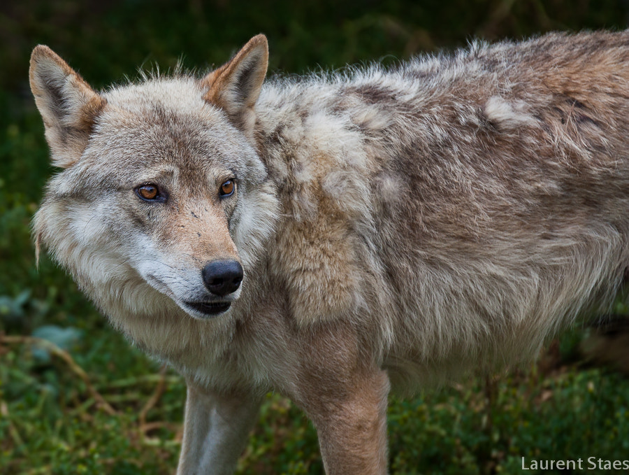 Photograph Wolf III by Laurent Staes on 500px