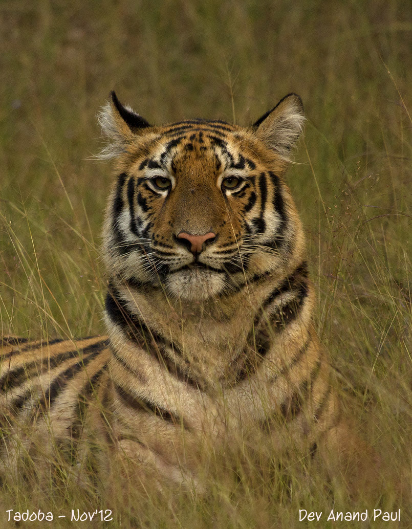 Photograph Watching Tiger by Wildlife Frames of Dev Anand Paul on 500px