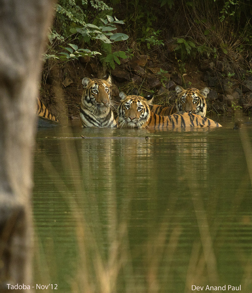 Photograph Bathing Tigers by Wildlife Frames of Dev Anand Paul on 500px
