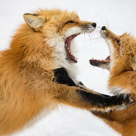 Quarrel of a fox, Canon EOS KISS X8I, Canon EF-S 55-250mm f/4-5.6 IS STM