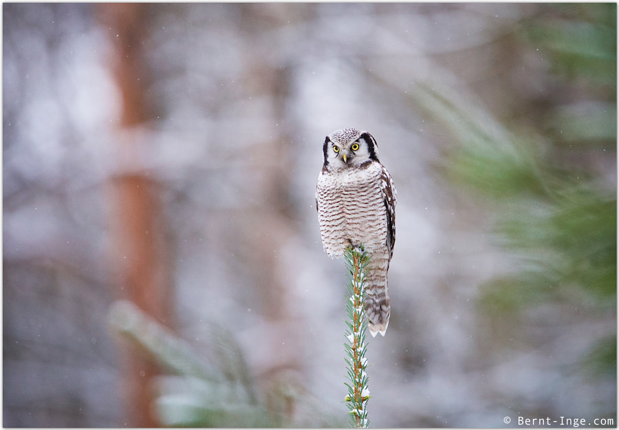 Northern Hawk-Owl by Bernt-Inge Madsen on 500px.com