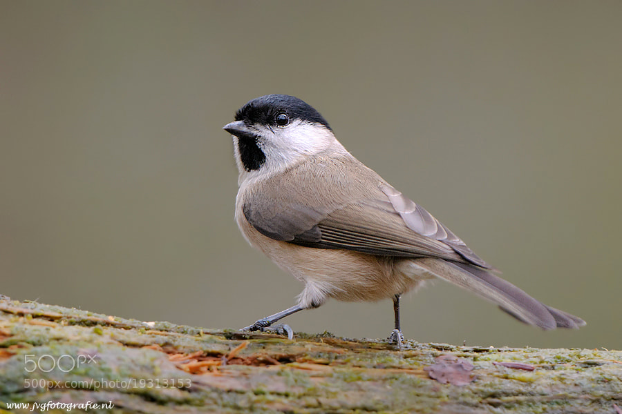 Photograph Marsh tit/ Glanskop by Johan van Gool on 500px
