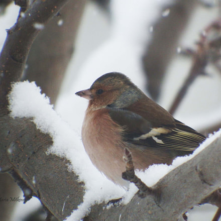 Common chaffinch and the, Fujifilm FinePix S1