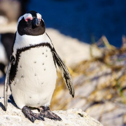 Proud penguin ready for, Sony ILCE-7, Sony 70-300mm F4.5-5.6 G SSM (SAL70300G)